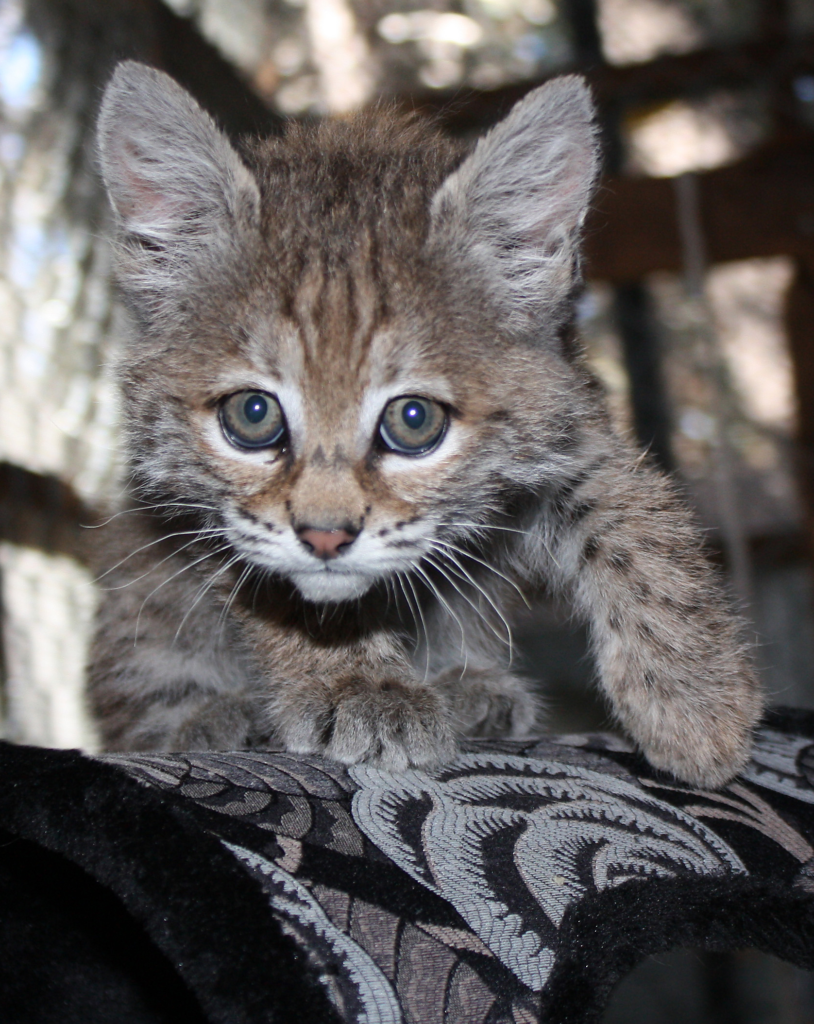 Chips the Bobcat