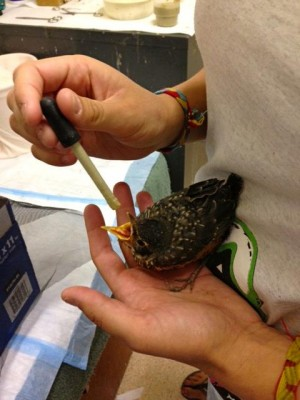 LTWC volunteer feeding a baby bird