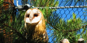 Perched barn owl in LTWC's flight area