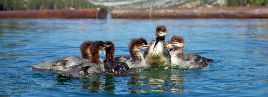 Merganser chicks - release day!